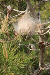 Traiter les Chenille processionnaires du pin
