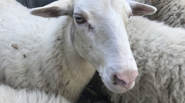 Retour des brebis, Ecopaturage au Domaine Saint-Paul en 2021